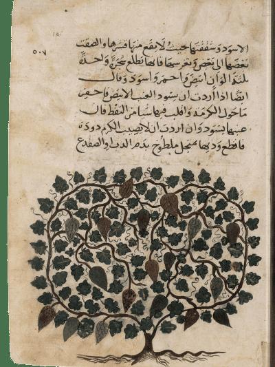 Weinstock. Aus: Enzyklopädie des al-ʿUmarī, Masālik al-abṣār fī mamālik al-amṣār, 14. Jh. (Paris, Bibliothèque nationale de France, Arabe 2771, folio 186r)